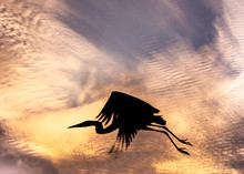 Great Blue Heron Silhouette Flying In The Sky