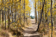 Dirt Hiking Trail Winds Through A Golden Fall Aspen Forest In The Colorado Rocky Mountains On A Sunny Fall Day
