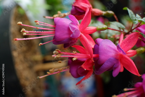 Obraz na plátně  Beautiful Fuchsia flowers in full bloom
