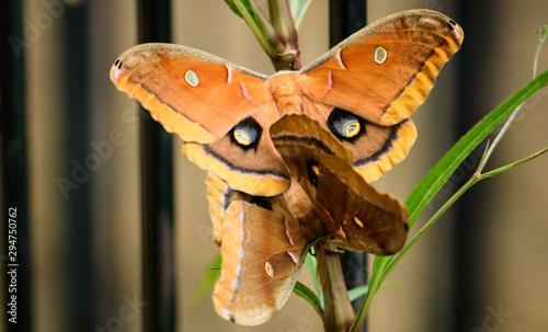 Photo Polyphemus Moth (Antheraea polyphemus) mating