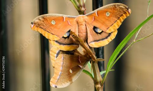 Polyphemus Moth (Antheraea polyphemus) mating Wallpaper Mural