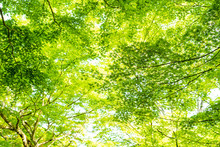 Leaves Of Green Maple And Mapl...