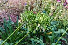 Large Agapanthus Seed Heads In Autumn