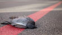 Tote Taube Liegt Auf Einer Rot...