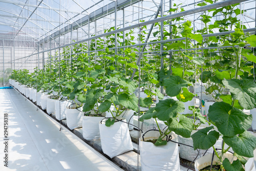 Photo  Cantaloupe melons young plant growing in greenhouse organic farm