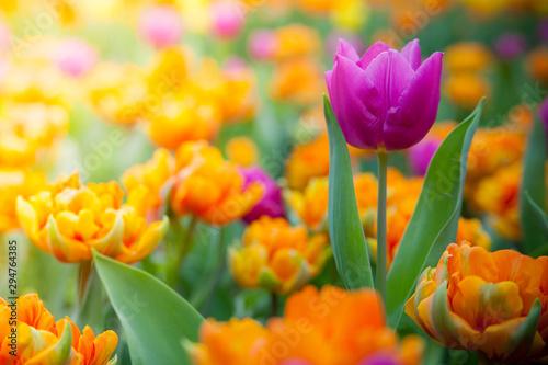Spoed Fotobehang Tulp Fresh blooming close up tulips in the spring garden under sunshine