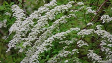 Spiraea Arguta Is A Deciduous Shrub Grown For Its Generous Displays Of White Flowers Borne During Spring. Its Upright Habit Makes It Effective As A Flowering Hedge.
