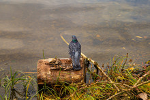 Pigeon On A Log In The Lake
