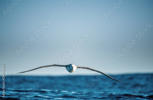 Albatross in flight, front view Fototapet