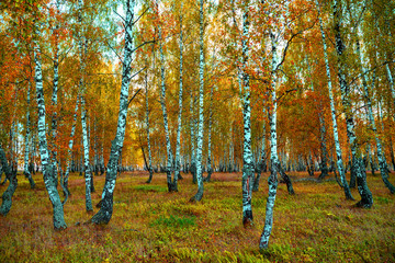 Obraz na Szkle Las Autumn forest trees sunlight view. Autumn birch tree forest. Autumn birch forest background. Autumn sunlight birch forest view.