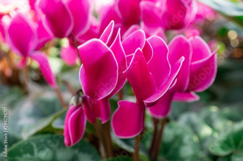 Montage in der Fensternische Rosa Pink Geranium flowers in the garden with blur background