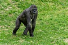 Female Black Gorilla Monkey Ap...