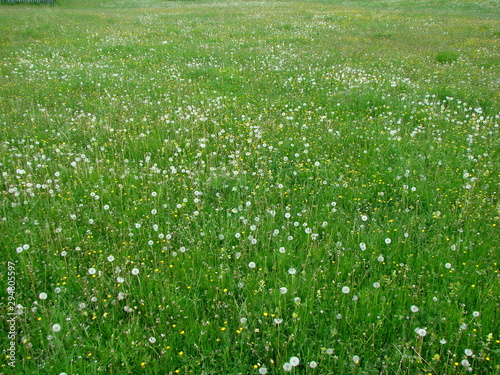 Foto op Plexiglas Groene Amazing natural beauty of dandelion bloom in early summer at the foot of mountain ranges.