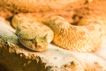 Poisonous African Horned Viper