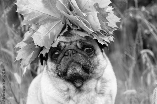Photo pug dog with a wreath of maple leaves on the head of a dog in parks in autumn bl