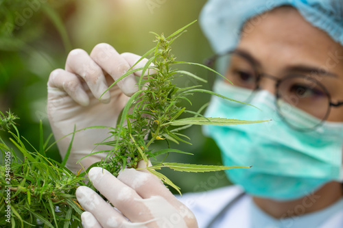 Female scientist in a hemp field checking plants and flowers, alternative herbal medicine concept, Marijuana research, cbd cannabis oil,   pharmaceptical industry Wallpaper Mural