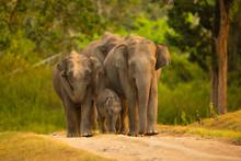 Asian Elephant Family With  Calf ,Bandipur National Park,Karnataka