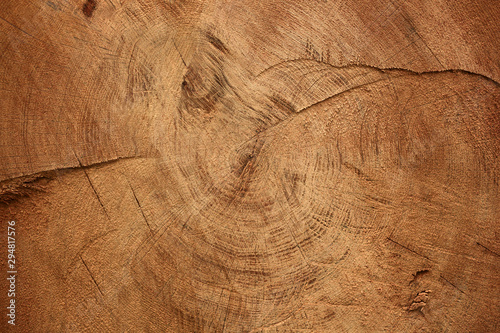 Fototapeta Wood texture of cut tree trunk