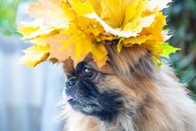 Pekingese Dog With A Wreath Of...