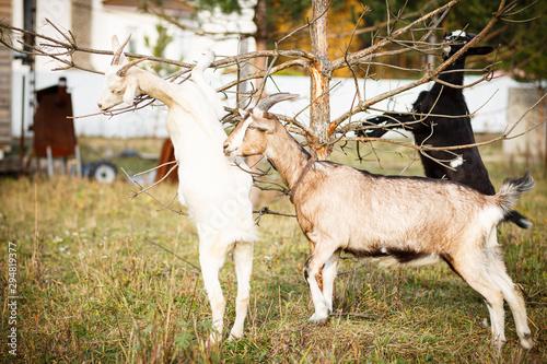Tablou Canvas goats in the farm