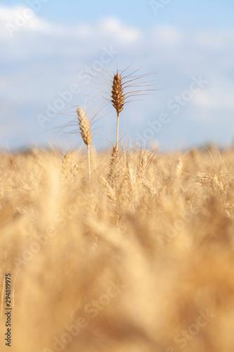 Obraz na plátně grano, campo di grano, luglio, estate