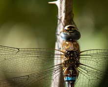 Migrant Hawker Dragonfly Close Up Of Wing And Head Detail.