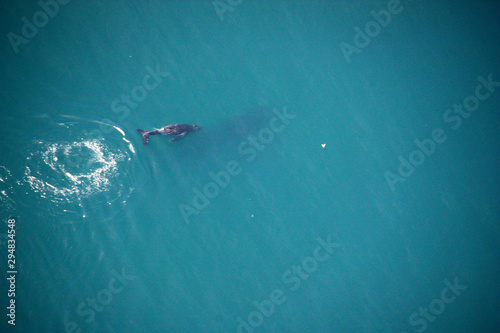 Humpback whale mother (silhouette visible, under water) and baby off the shore o Tablou Canvas