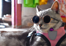 Grey American Short Hair Cat F...