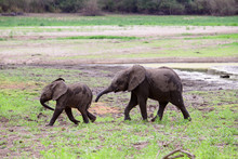 Two Playful African Baby Eleph...