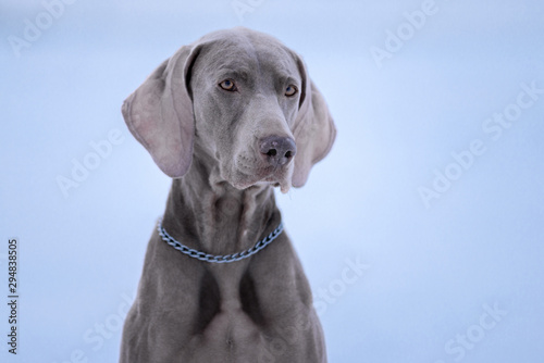 Photo sur Toile Loup Dog breed Weimaraner, portrait in winter, close-up