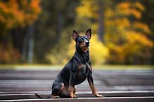 German Pinscher Dog Posing Out...