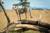Cheetah stands on fallen branch with cubs