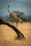 Fototapeta Sawanna - Cheetah walks down bent tree in grassland