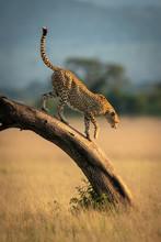 Cheetah Walks Down Bent Tree In Grassland