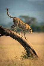 Cheetah Walks Down Leaning Tree In Savannah