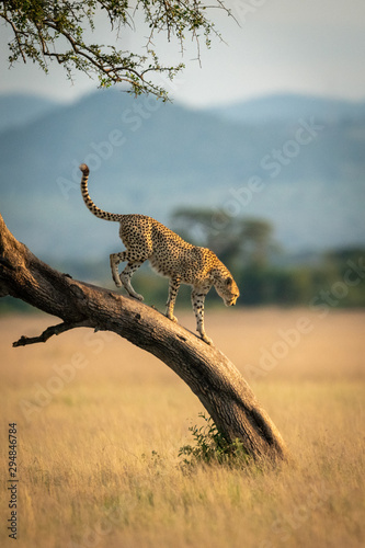 Cheetah walks down leaning tree in grassland