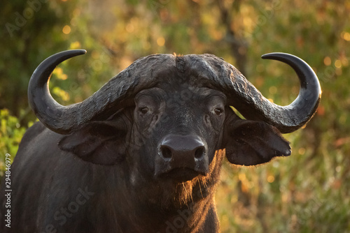 close-up-of-cape-buffalo-in-golden-light