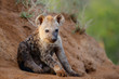 canvas print picture Hyena pup at the den with sunrise in Sabi Sands Game Reserve in South Africa