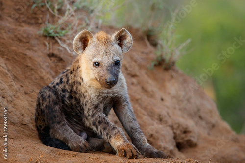 Poster de jardin Hyène Hyena pup at the den with sunrise in Sabi Sands Game Reserve in South Africa
