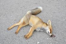 Dead Fox On The Highway