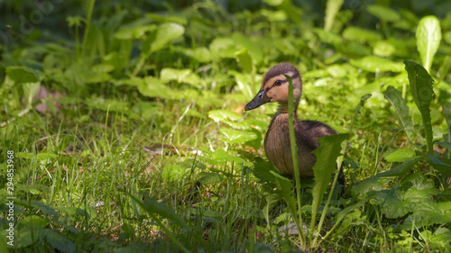 Photo Giovane di germano reale nascosto tra l'erba
