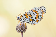 Spotted Fritillary Or Red-band...