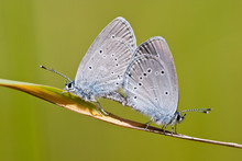 Couple Of Small Blue (Cupido Minimus) Butterflies Mating On A Blade Of Grass.