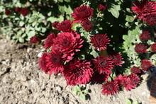 Deep Red Flowers Of Chrysanthemum In October