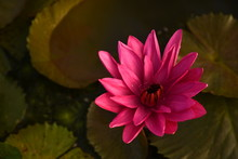 Pink Lotus Flower On Top View For Stock Photo