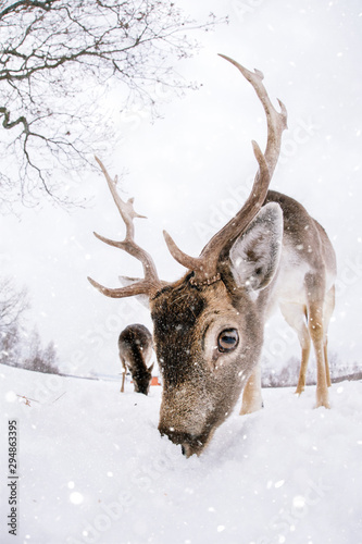 Poster Cerf Beautiful white-tailed deer in winter. Christmas concept.