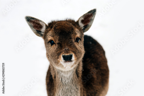Photo  Beautiful white-tailed deer in winter. Christmas concept.