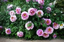 Lush Flowering Bush Of Pink Tr...