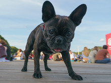 Portrait Of Young Small French Bulldog With Big Black Sad Eyes On The City Street In Summer Day. Frontal View.