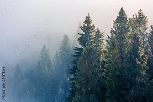 Fotografía  spruce trees in mist and hoarfrost